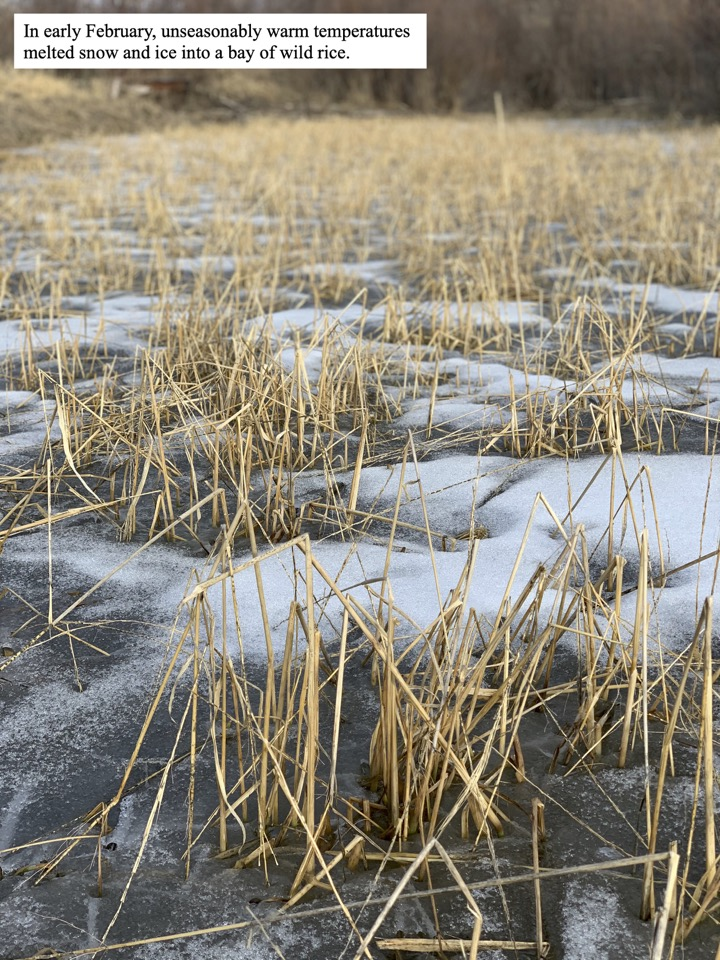 In early February, unseasonably warm temperatures melted snow and ice into a bay of wild rice.