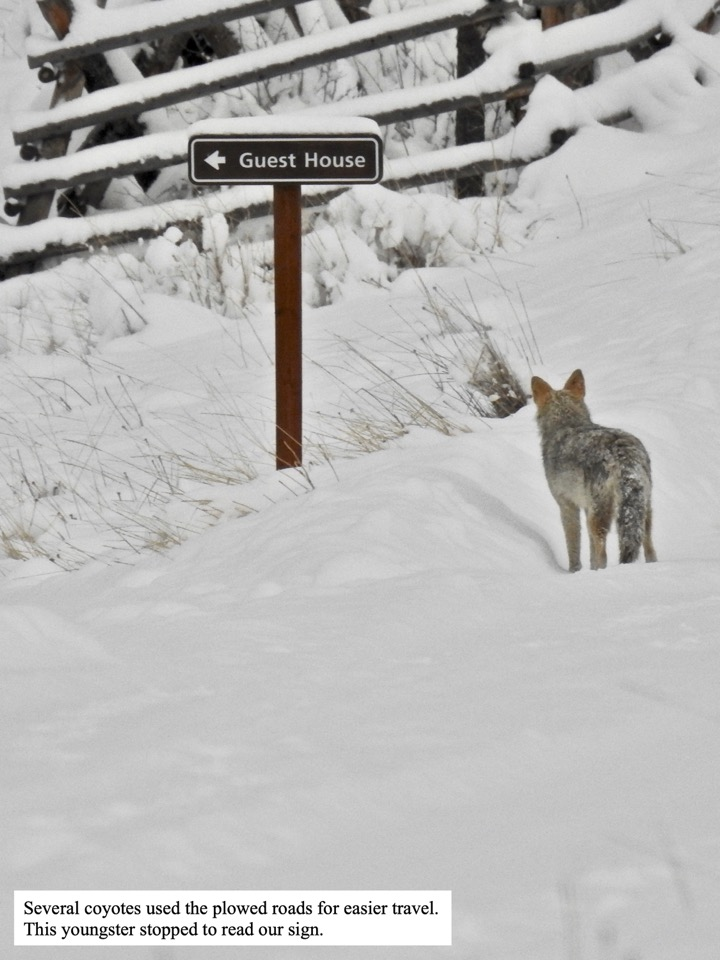 Several coyotes used the plowed roads for easier travel.
