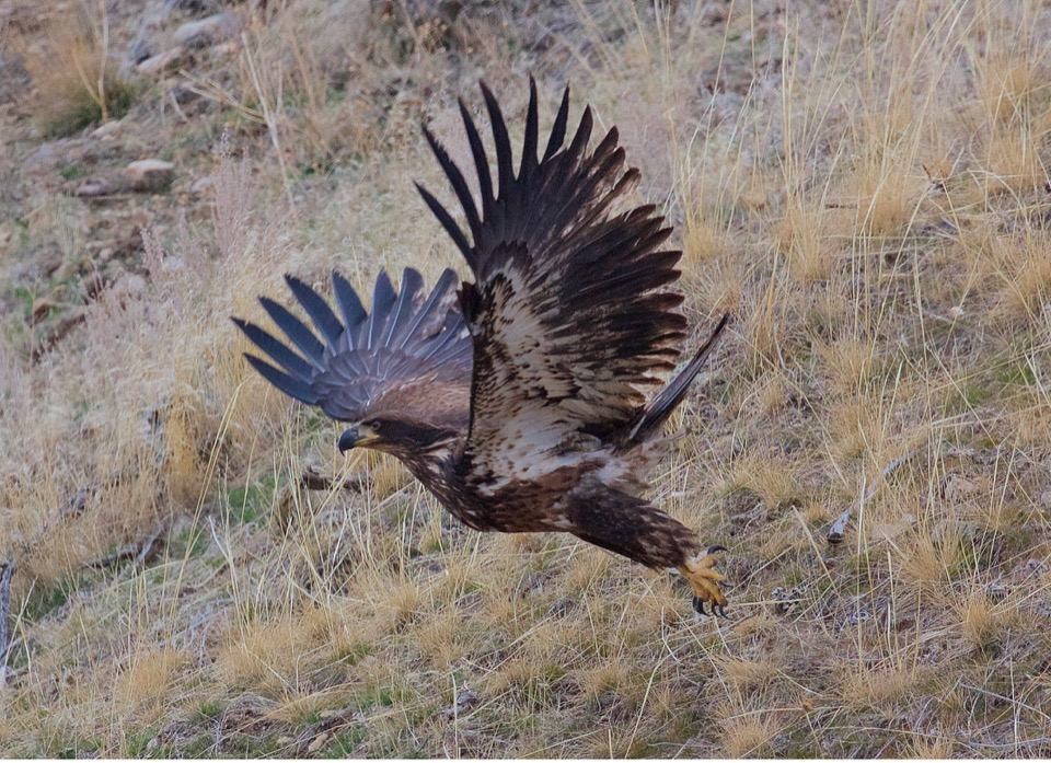 An immature Bald Eagle erupts from a hillside after patiently waiting to feed on a carcass.