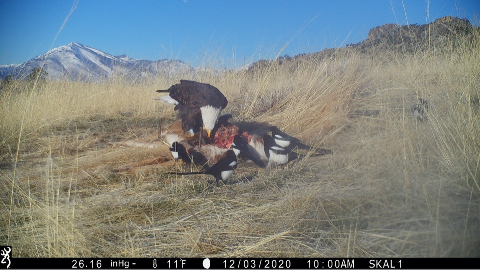 This landowner's camera provided numerous resightings of different marked eagles over five years.
