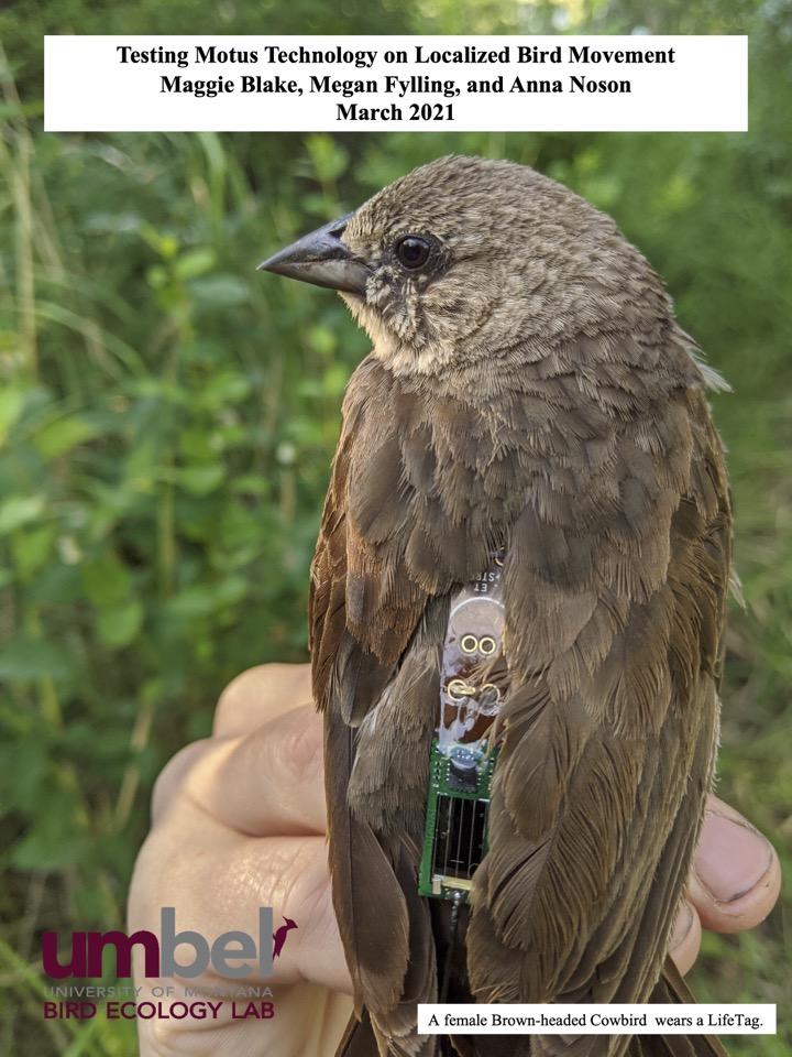A female Brown-headed Cowbird wears a LifeTag.
