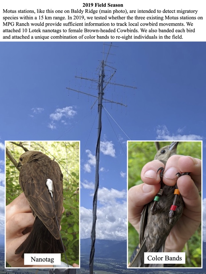 In 2019, we tested whether the three existing Motus stations on MPG Ranch would provide sufficient information to track local cowbird movements.