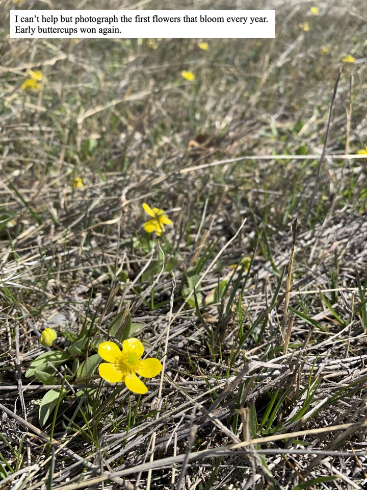 I can't help but photograph the first flowers that bloom every year. Early buttercups won again.