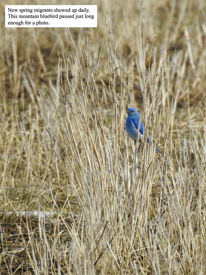 This mountain bluebird paused just long enough for a photo.