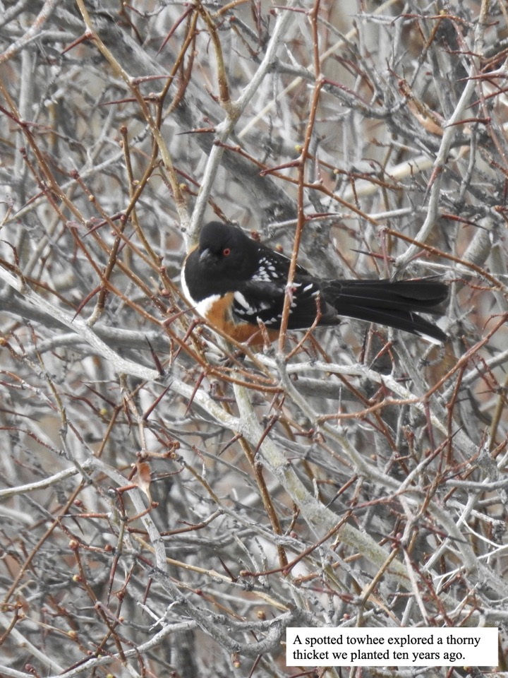 A spotted towhee explored a thorny thicket we planted ten years ago.