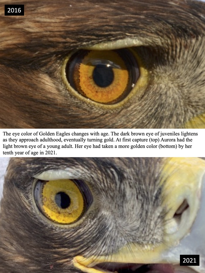 The eye color of Golden Eagles changes with age.