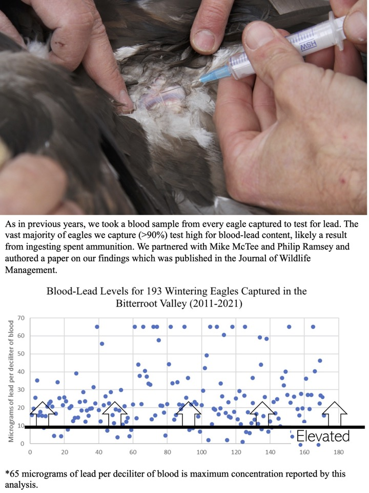 The vast majority of eagles we capture (>90%) test high for blood-lead content, likely a result from ingesting spent ammunition.