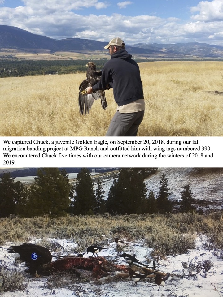 We captured Chuck, a juvenile Golden Eagle, on September 20, 2018, during our fall migration banding project at MPG Ranch and outfitted him with wing tags numbered 390