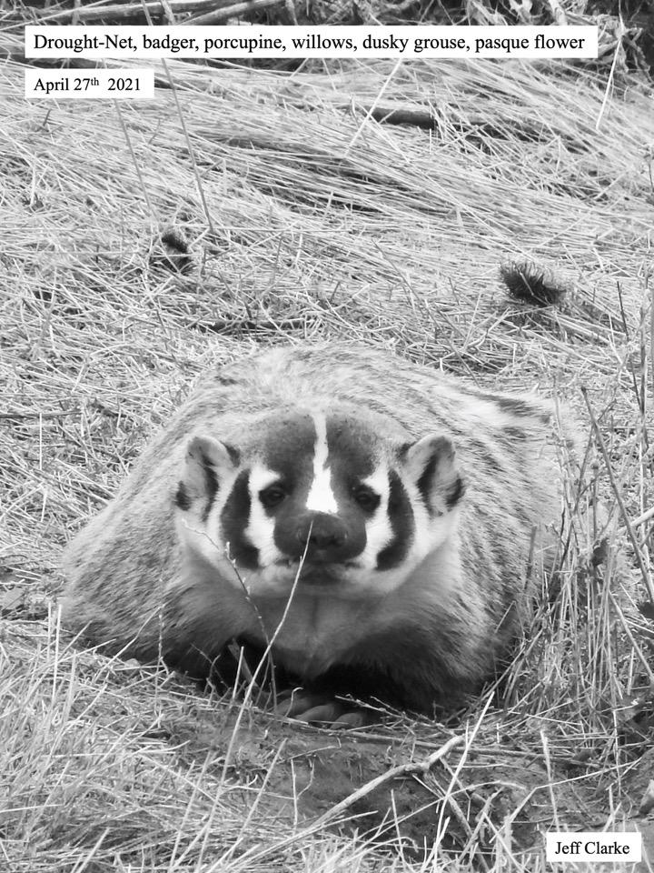 Drought-Net, badger, porcupine, willows, dusky grouse, pasque flower