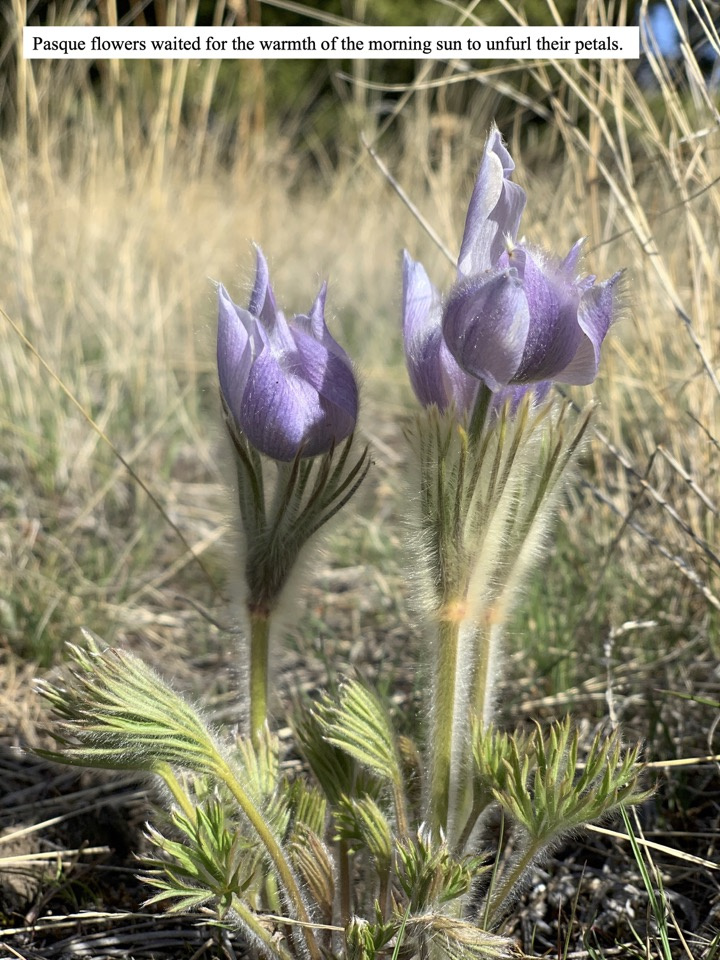 Pasque flowers waited for the warmth of the morning sun to unfurl their petals.