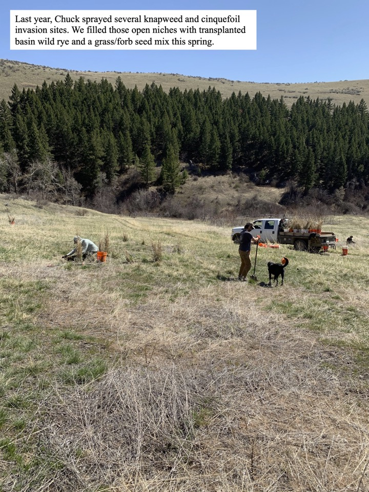 Last year, Chuck sprayed several knapweed and cinquefoil invasion sites.