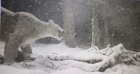 cougar on kill 2