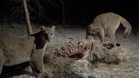 cougars on kill 4
