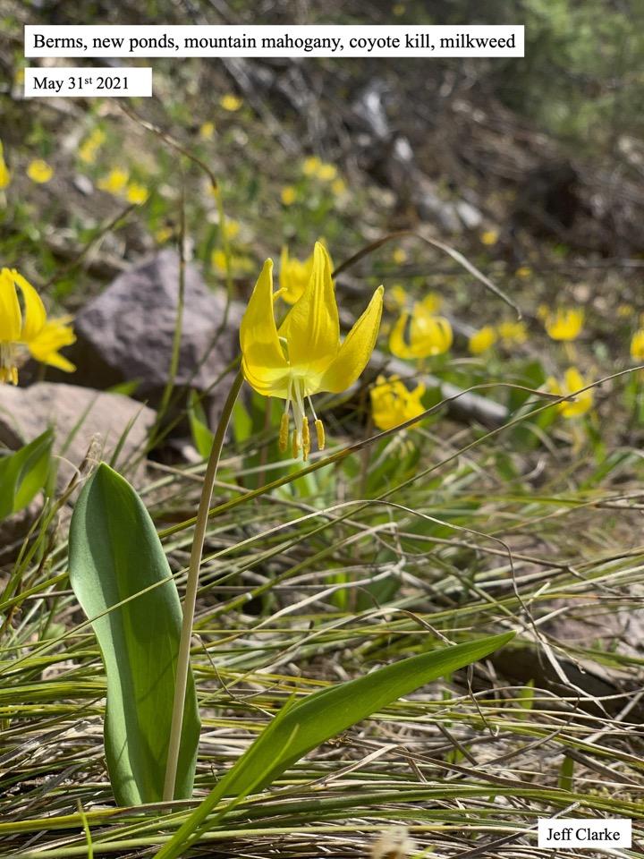 Berms, new ponds, mountain mahogany, coyote kill, milkweed
