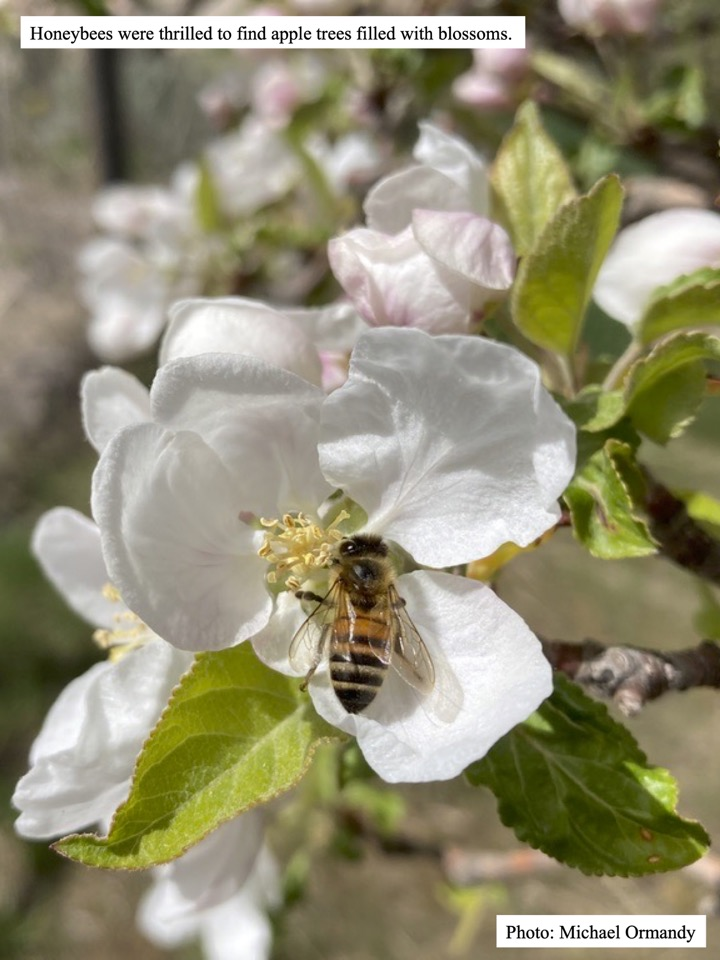 Honeybees were thrilled to find apple trees filled with blossoms.