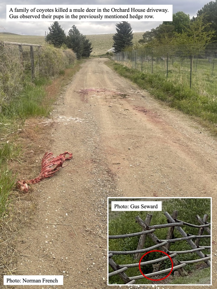 A family of coyotes killed a mule deer in the Orchard House driveway.