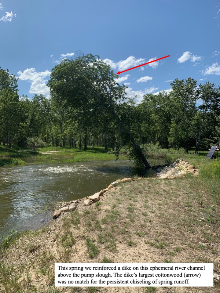 This spring we reinforced a dike on this ephemeral river channel above the pump slough.