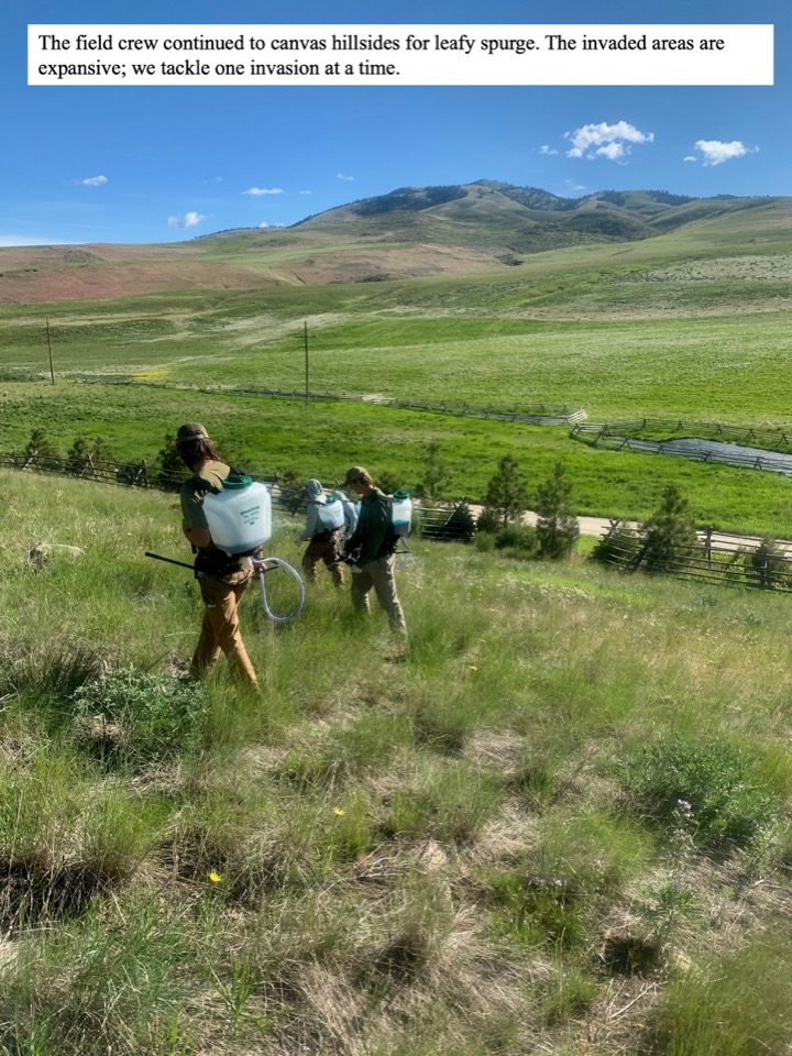 The field crew continued to canvas hillsides for leafy spurge.