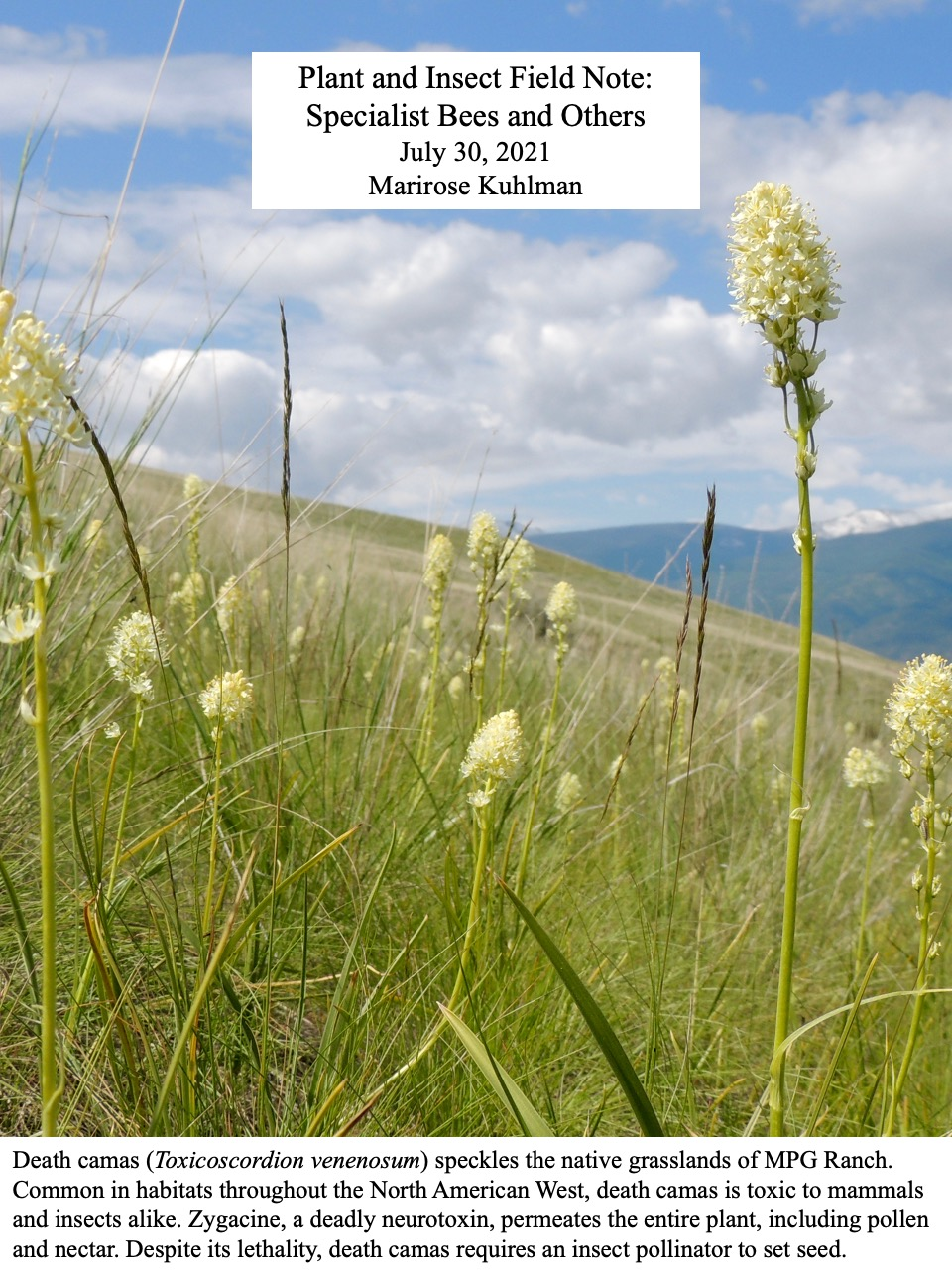 Despite its lethality, death camas requires an insect pollinator to set seed.