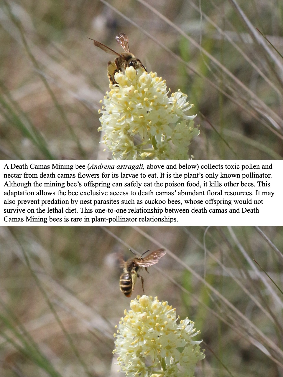 Death Camas Mining bee (Andrena astragali, above and below) collects toxic pollen and nectar from death camas flowers for its larvae to eat.
