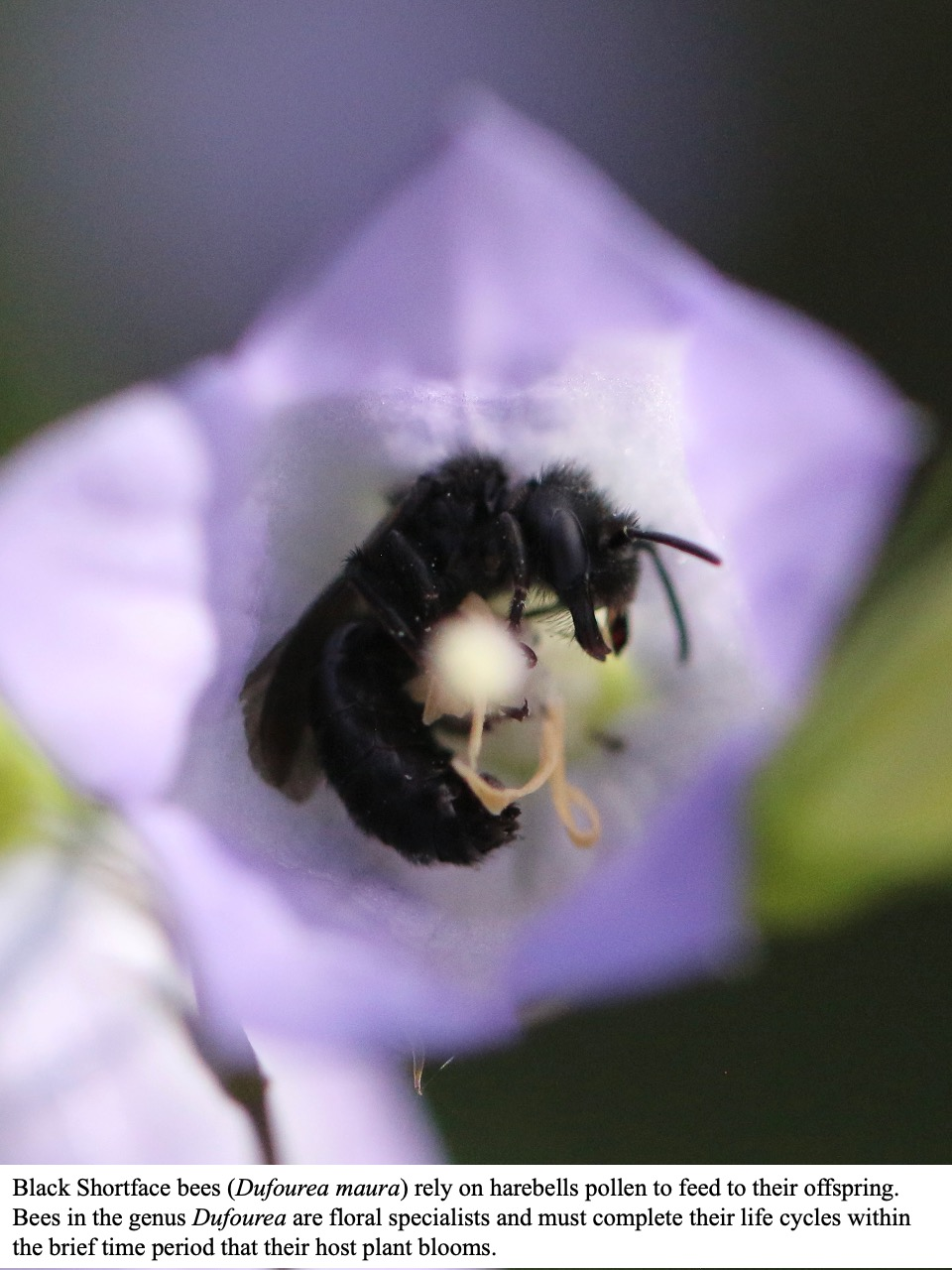 Black Shortface bees (Dufourea maura) rely on harebells pollen to feed to their offspring.