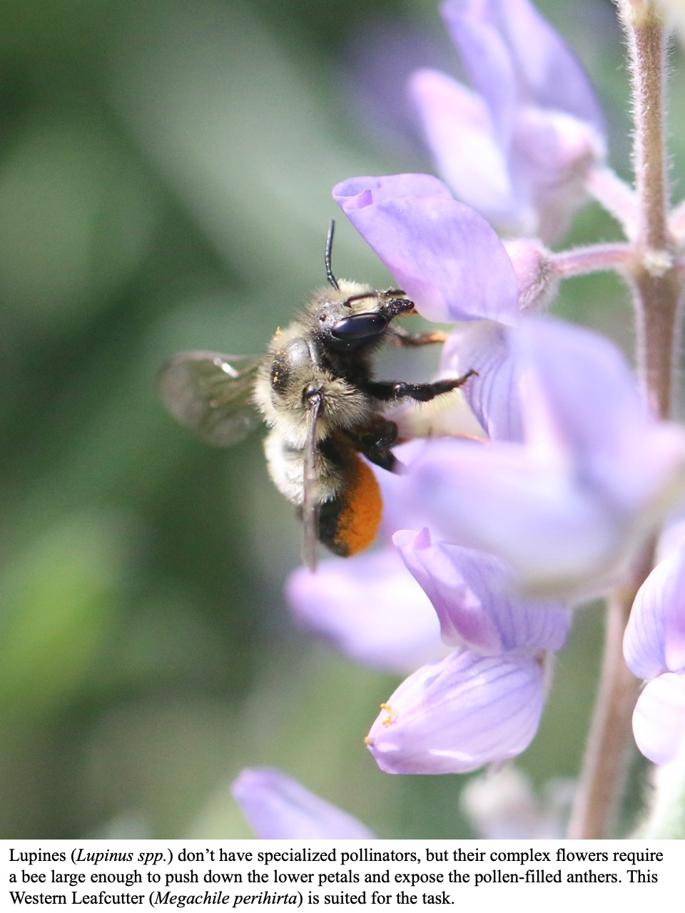 Lupines (Lupinus spp.) don't have specialized pollinators, but their complex flowers require a bee large enough to push down the lower petals