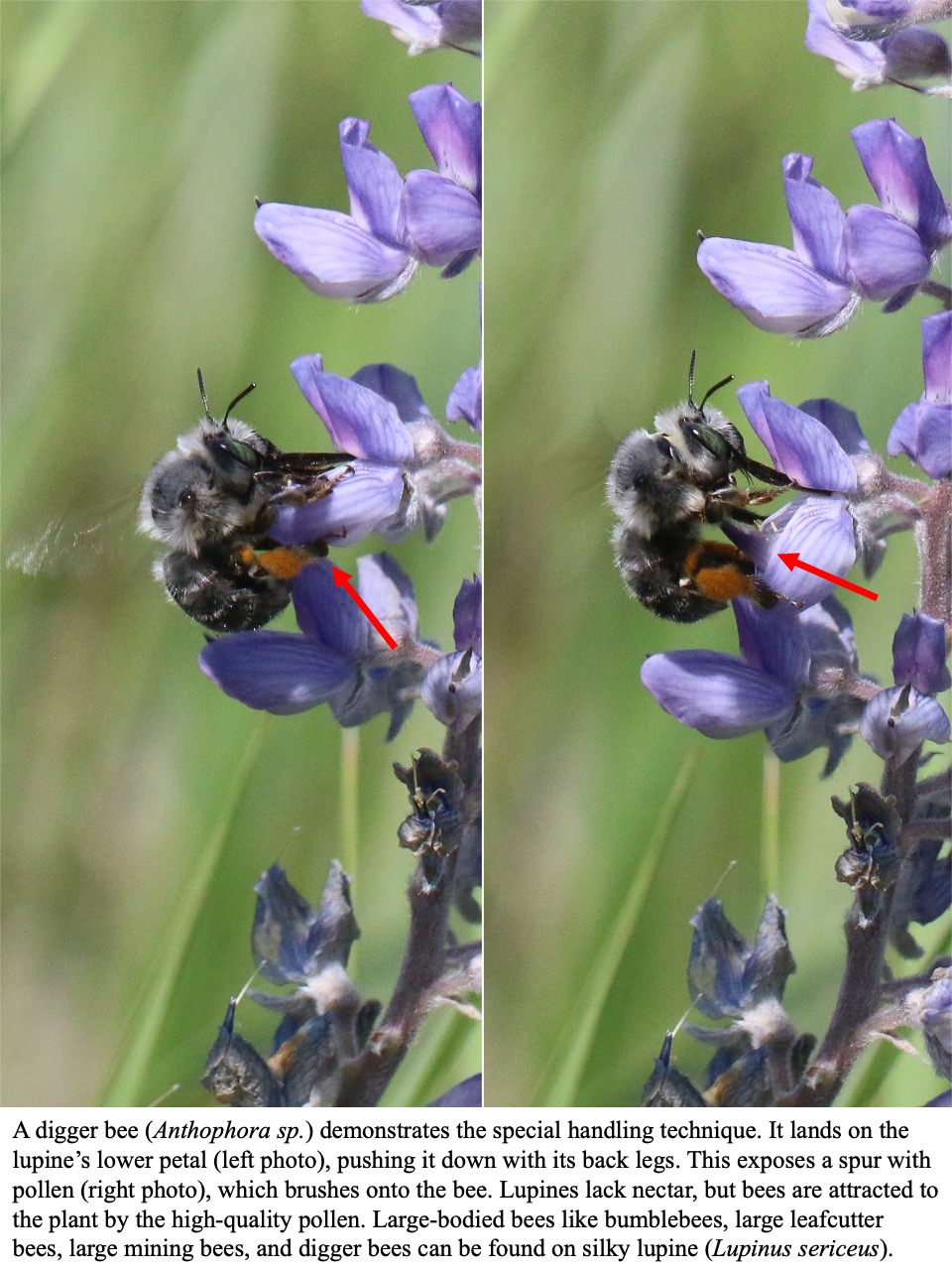 Large-bodied bees like bumblebees, large leafcutter bees, large mining bees, and digger bees can be found on silky lupine
