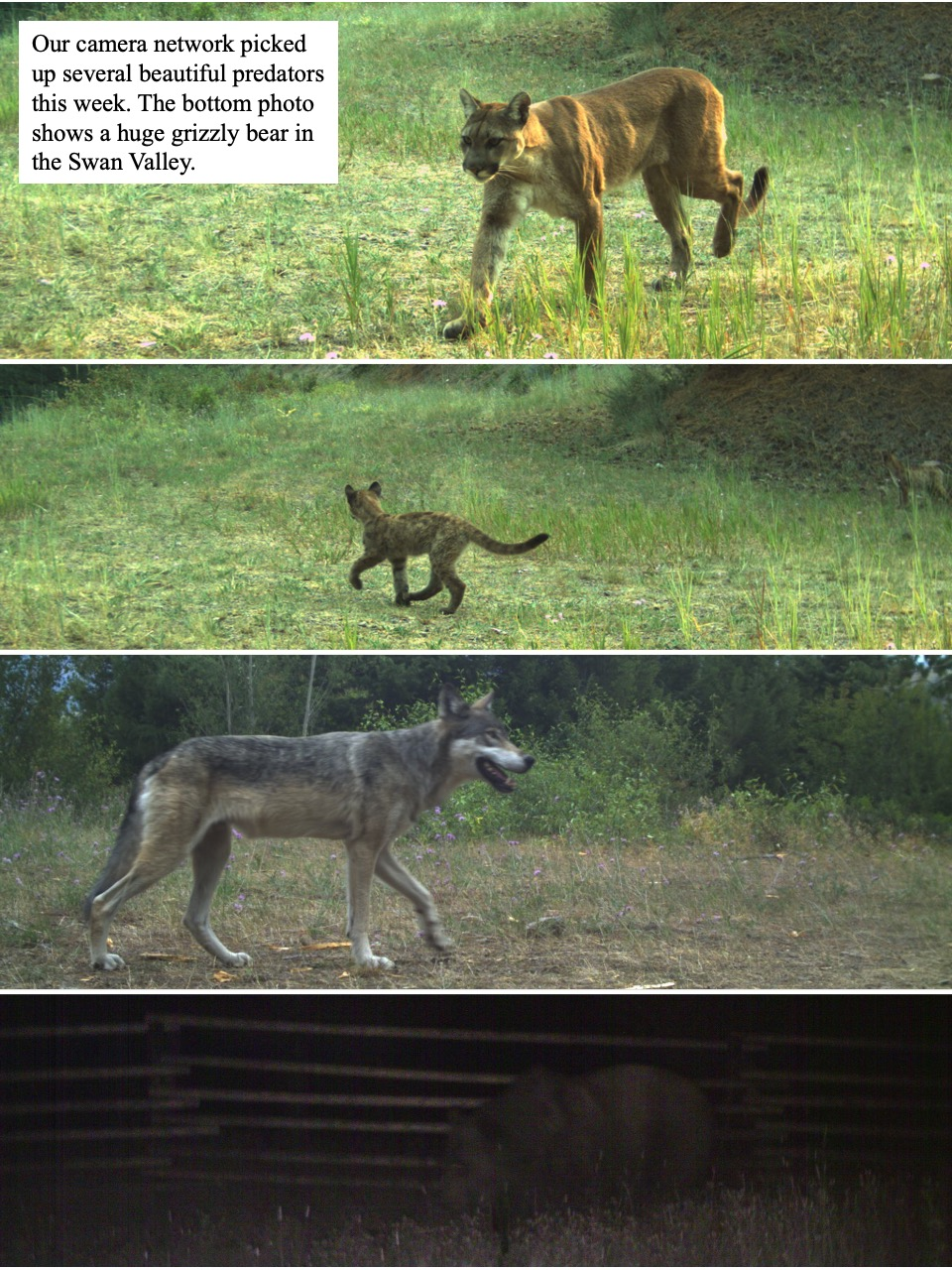Our camera network picked up several beautiful predators this week.