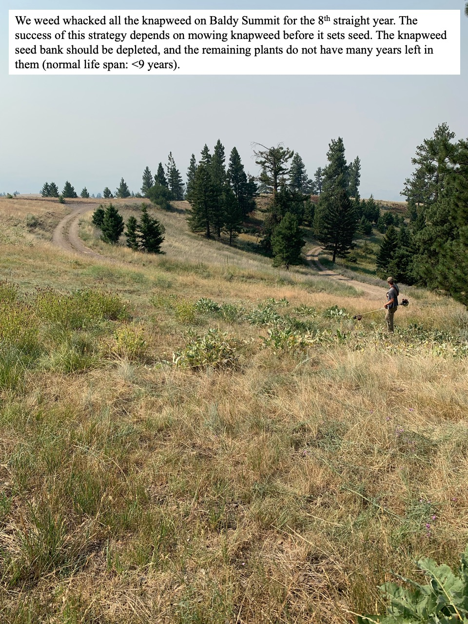 We weed whacked all the knapweed on Baldy Summit for the 8th straight year.