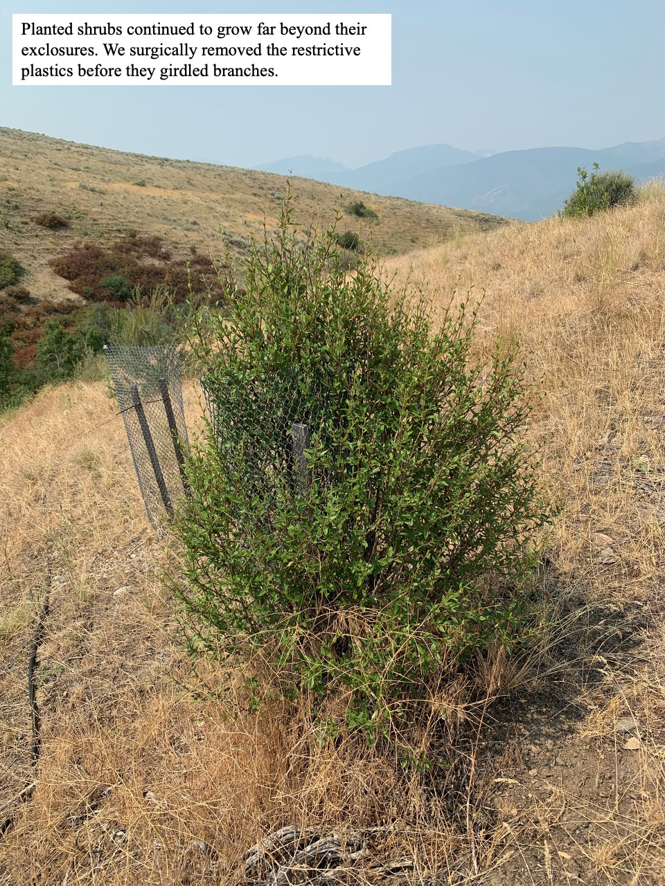 Planted shrubs continued to grow far beyond their exclosures.