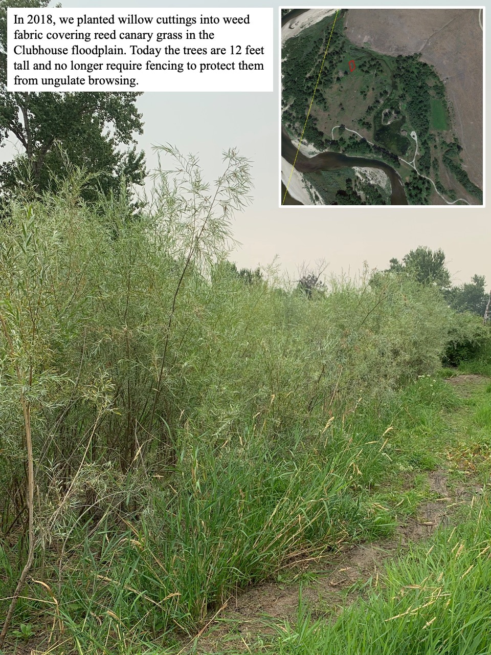 In 2018, we planted willow cuttings into weed fabric covering reed canary grass in the Clubhouse floodplain.
