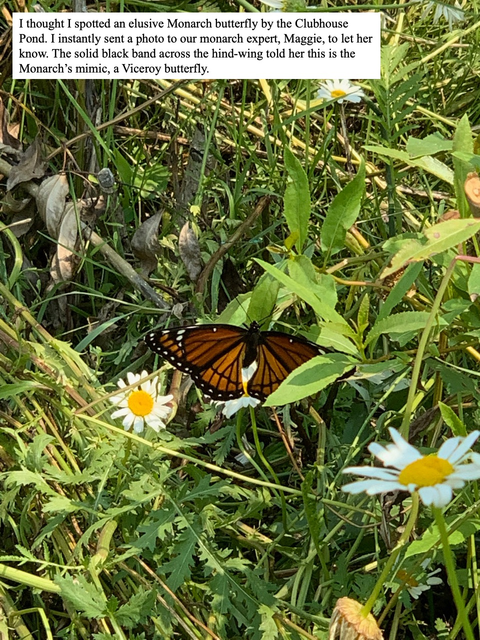 I thought I spotted an elusive Monarch butterfly by the Clubhouse Pond.