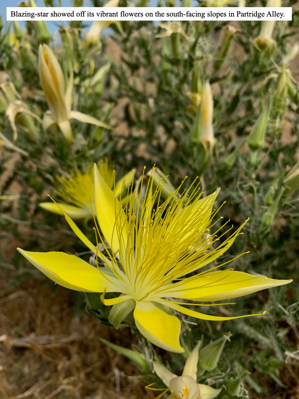 Blazing-star showed off its vibrant flowers on the south-facing slopes in Partridge Alley.