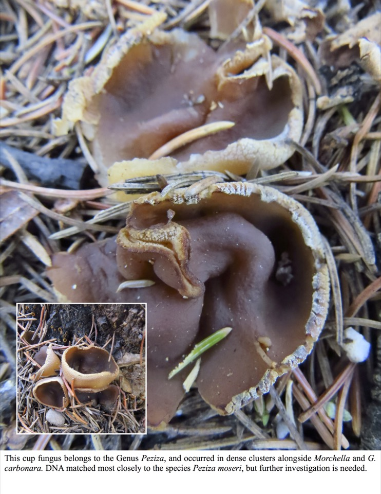 This cup fungus belongs to the Genus Peziza, and occurred in dense clusters alongside Morchella and G. carbonara.