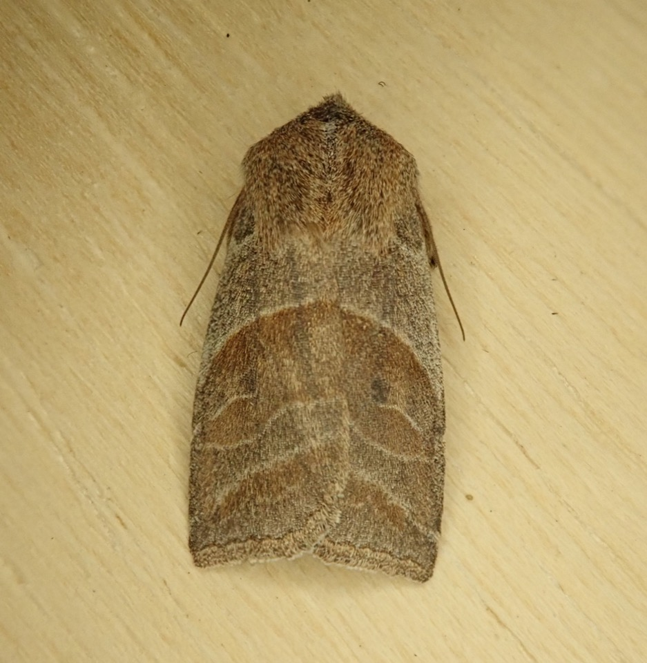 Image 1. A Lost Sallow (Eupsilia devia) collected March 10th, 2020