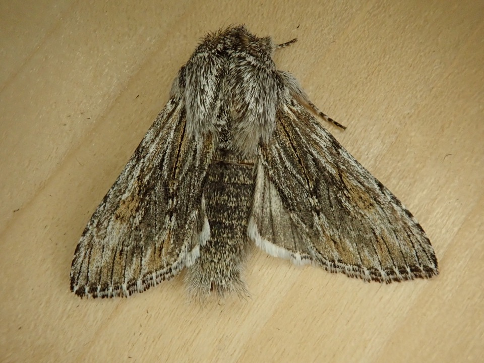 A Darling Hooded-owlet Moth (Cucullia pulla) we collected April 6th, 2020
