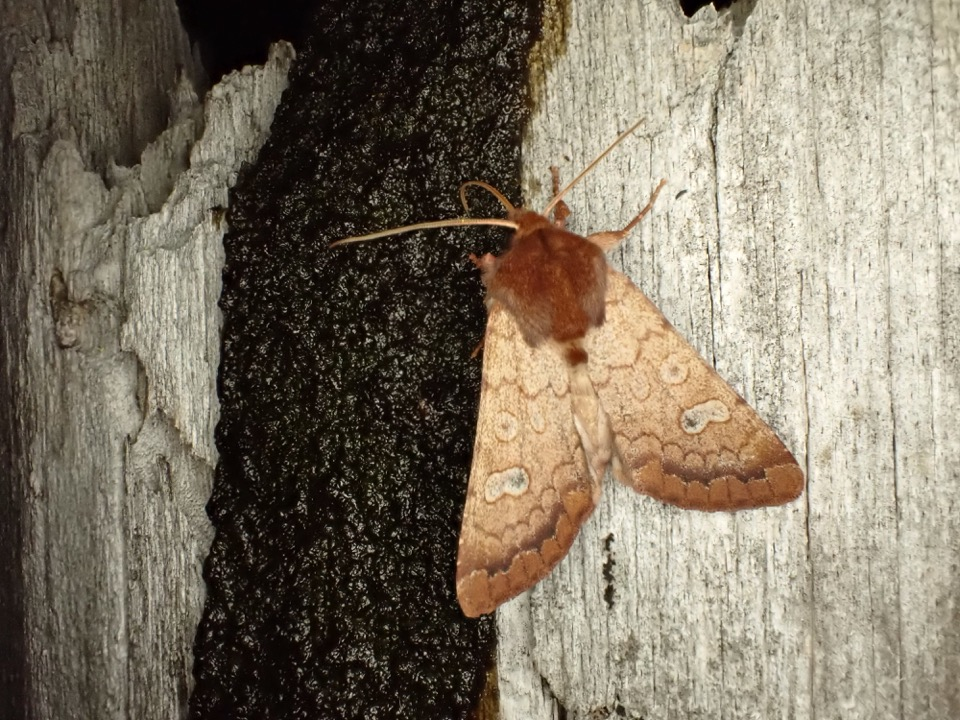 A Rosewing Moth (Sideridis rosea) attracted to our molasses bait.