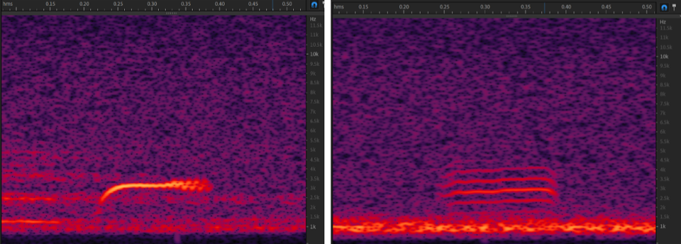 """We use the custom, open-source software Vesper to manage our acoustic data. The """"thrush"""" detector we use isolates sound clips of duration and frequency similar to the nocturnal flight call of a Swainson's Thrush"""
