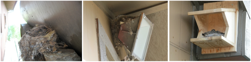 The phoebes nest on various inconvenient ledges around ranch buildings, only occasionally using the nest platforms we offer.