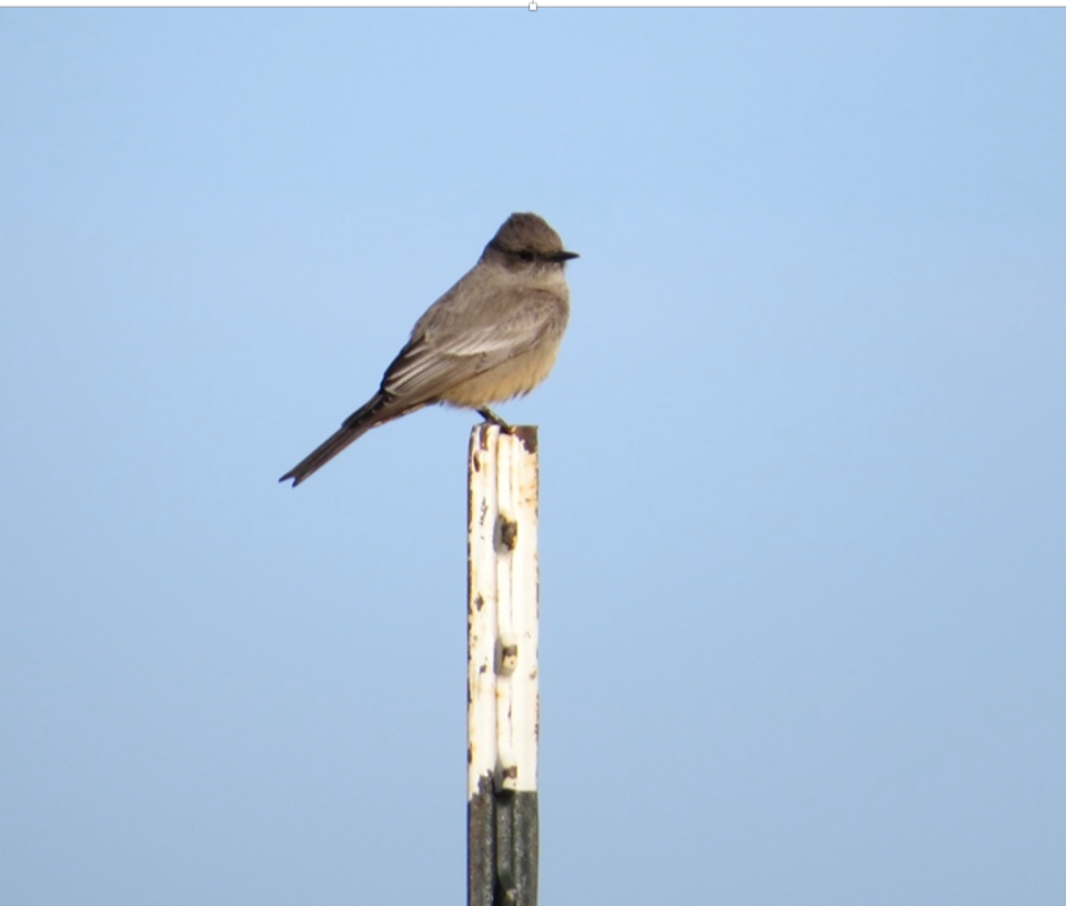 A Say's Phoebe perches on a fencepost, eyeing its surroundings for insects.