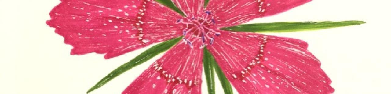 Deptford Pink featured image.