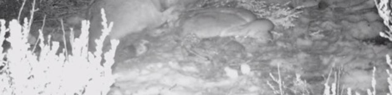Mountain Lion Kill Site  featured image.