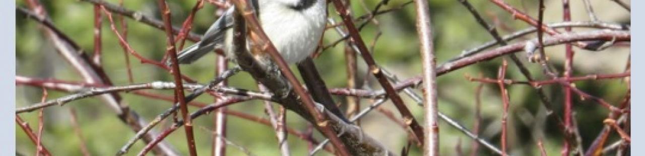 Chickadee featured image.