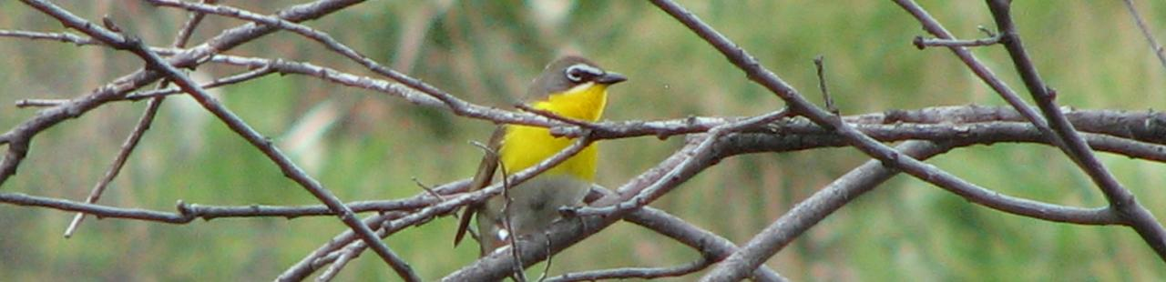 Yellow-Breasted Chat Spotted featured image.