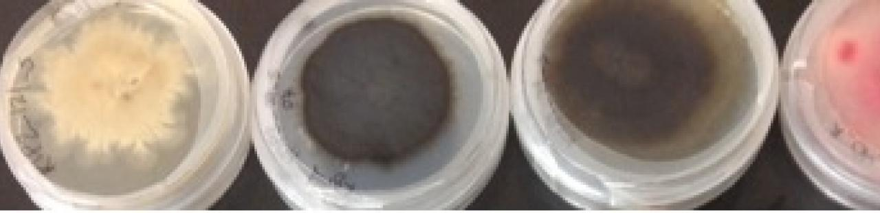 New Endophyte Database featured image.
