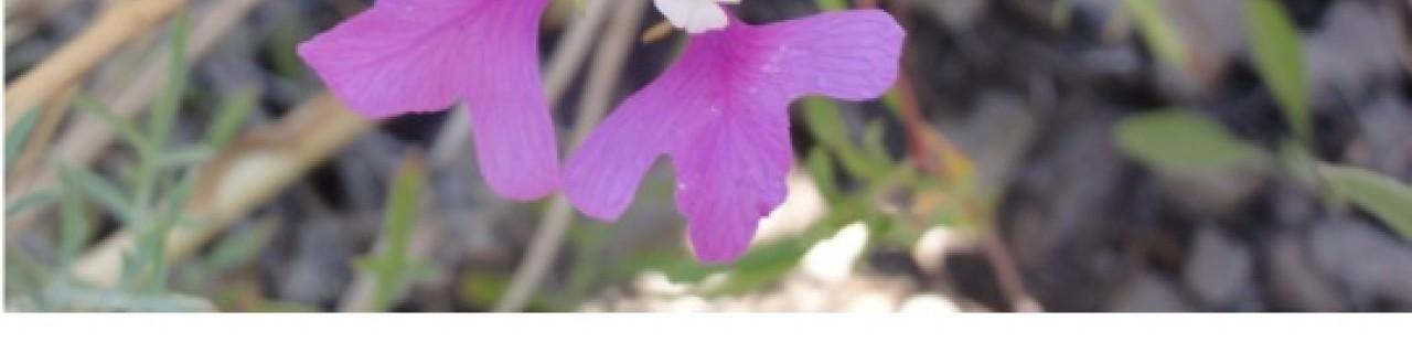 Clarkia Pulchella featured image.