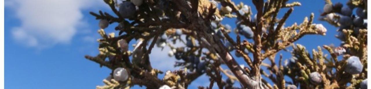 The Juniper featured image.