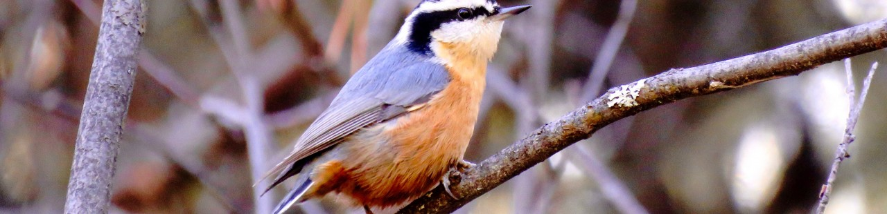 Do Red-breasted Nuthatch Migrate Triennially? featured image.