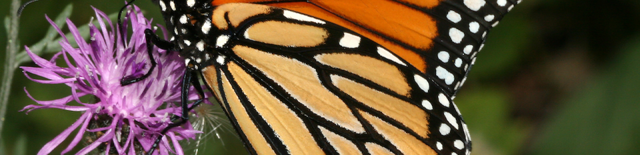 MPG Monarch Butterfly Monitoring  featured image.