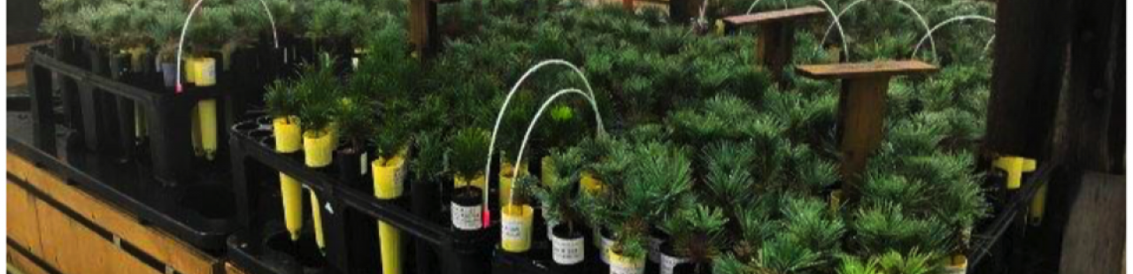 Altering Western White Pine Microbiomes For Disease Resistance featured image.